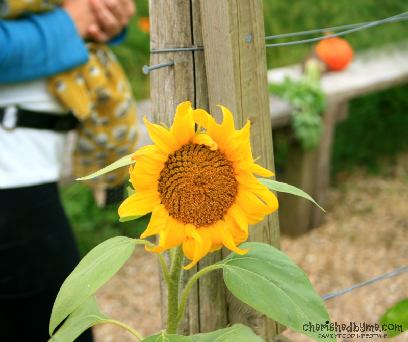 Sunflowers at River Cottage