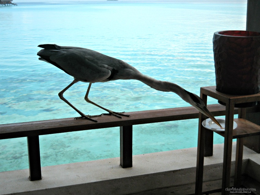Heron Eating Breakfast in The Maldives cherishedbyme.com